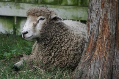 sheep-58599_1280