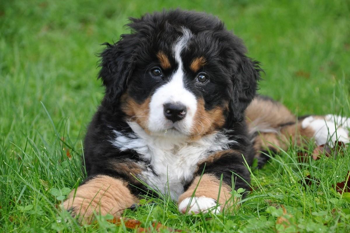 bernese-mountain-dog-1177077_1280