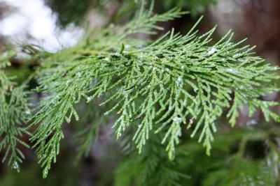 Branch Winter Nature Fir Tuja Green