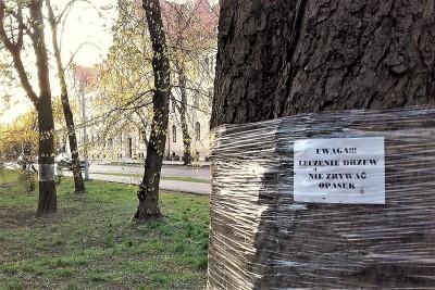 Inowrocław dba o kasztanowce 01 (1)