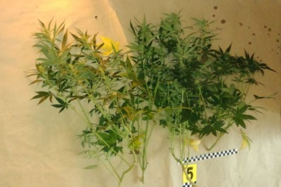 Narkotyki, marihuana - policja