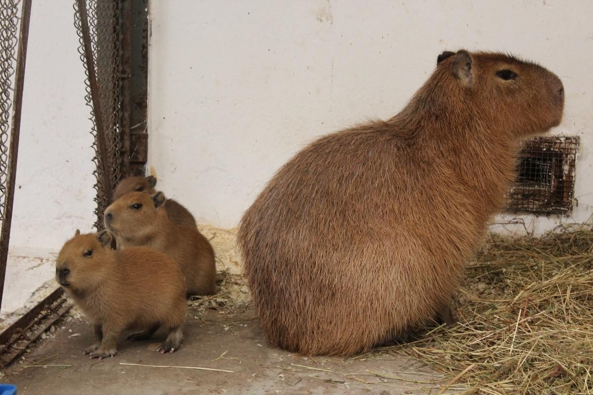 kapibary-lpkiw