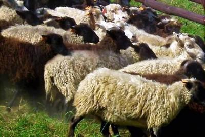Strzyżenie owiec2