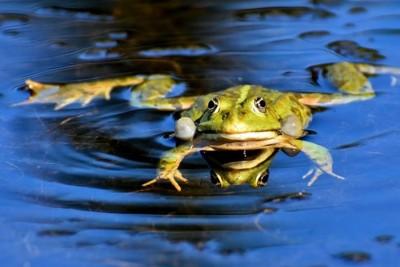 żaba - umb