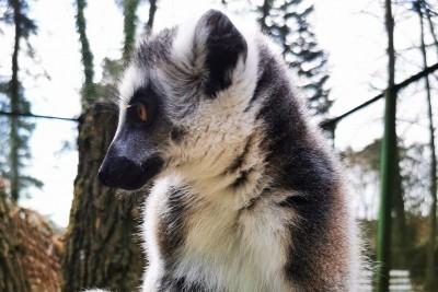 lemur - myslecinek