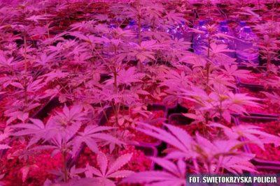 marihuana ciechocinek